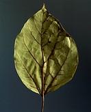 Catalpa leaf (Catalpa bignonioides), Bignoniaceae.