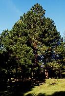 Maritime Pine (Pinus pinaster), Pinaster.