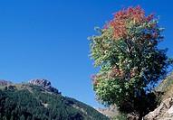 Service tree (Sorbus domestica), Rosaceae.