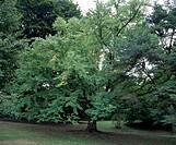 Katsura (Cercidiphyllum japonicum), Cercidifillaceae.