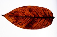 Badam leaf on white background