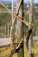 grapevine in vineyard, Mosel Valley, Germany