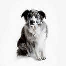 Worried Border Collie against a white background