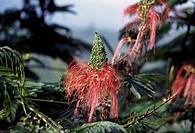 Calliandra flowers, Fabaceae-Leguminosae.