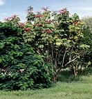Specimen in flower of Schefflera actinophylla Brassaia actinophylla, Araliaceae.