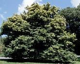 Stenocarpus salignus, Proteas.