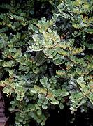 Carob or St John's-bread tree foliage (Ceratonia siliqua), Fabaceae-Leguminosae.