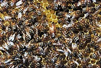 Western honey bee or European honey bee Apis mellifera Queen and worker bees in honeycomb, Apidae