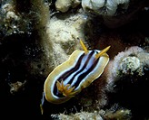 Chromodoris quadricolor, Chromodorididae. Red Sea.