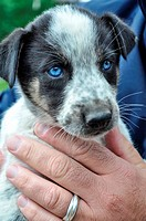 A mixed breed puppy is a prospect for Iditarod training
