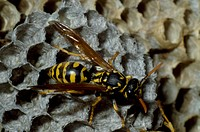 European paper wasp Polistes gallicus on a honeycomb, Vespidae.