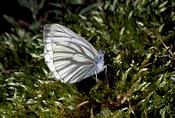 Green_veined white Pieris napi on moss, Pieridae.