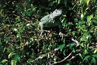 Green Iguana or Common Iguana (Iguana iguana), Iguanidae.