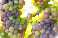 Wine grapes turning from green to red