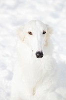 Borzoi hound portrait against snow