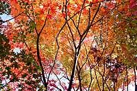 Japan red leaves
