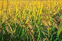 Paddy field in hokkaido , japan