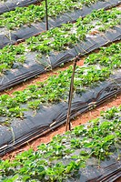 Cultivation of strawberry using new technique , Panchgani , Maharashtra , India