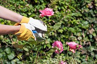 Woman using pruning shears for cutting rose