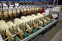 Milking sheep  Dairy sheep being milked at a farm  The farmers are attaching suction tubes to the sheep´s udders  These tubes rhythmically suck on the...