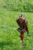 tame trained falcon sitting on a perch