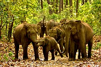 Aggressive elephant herd elephas maximus in forest track , Corbett national park , Uttaranchal Uttarakhand , India