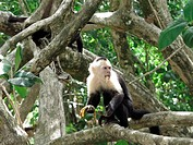 Capuchin monkey eating a banana