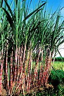 Sugar cane in an organic farm at Sathyamangalam Tamil Nadu INDIA