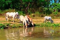Herd of cows