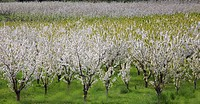Blooming orchard trees