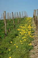 yellow wild tulips are blooming in a vineyard next to Gau Odernheim, unique in Germany, Rhinehesse, Rhineland_Palatinate