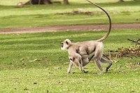 Common Langur presbytis entellus with young baby ; Bangalore ; Karnataka ; India