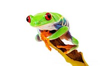 green red_eyed frog