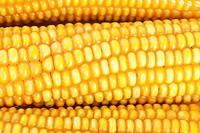 Fresh ear of corn as background