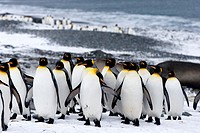 United Kingdom, South Georgia Islands, Salysbury plains, King Penguin Aptenodytes patagonicus, adults in the snow