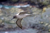 United Kingdom, South Georgia Islands, Elsehul, Light-mantled Albatross or Grey-mantled Albatross or the Light-mantled Sooty Albatross, Phoebetria pal...