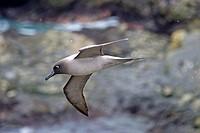 United Kingdom, South Georgia Islands, Elsehul, Light-mantled Albatross or Grey-mantled Albatross or the Light-mantled Sooty Albatross, Phoebetria pal...