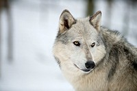 North American Timber wolf, Canis lupus, in forest