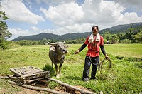 Man with water buffalo in the ricefields, Port Barton, Philippines, Asia