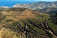 France, Pyrenees-Orientales, Vineyard above Banyuls sur Mer and Port Vendres which produces Banyuls. The Banyuls is a sweet wine