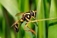 Hoverfly Spilomyia diophthalma, Ukraine, Eastern Europe