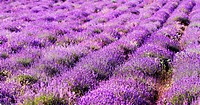 color lavender field