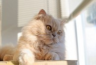 Persian cat looking outside of window