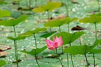 Tropical flower, Lotus, Water lily