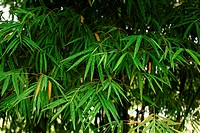 Bamboo leave, asian