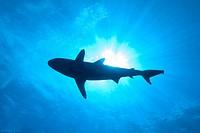 Grey Reef Shark / Carcharhinus amblyrhynchos