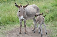 France, Provence, Female donkey feeding milk to new born foal on meadow