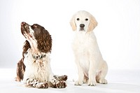 Golden Retriever puppy sitting besides English Springer Spaniel on white background