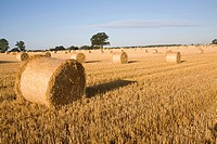 Straw bales in harvested field, Shottisham, Suffolk, England