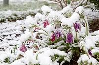 Küchenschelle Pulsatilla vulgaris im Schnee